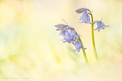 The Blue Bells of Spring (Mark James Ford) Tags: blue flower yellow bells spring sigma görlitz meyer hyacinthus orestor sd1m