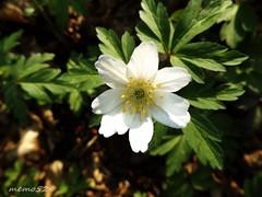 anemone nemorosa (memo52foto) Tags: italien italy italia anemone fiori brianza lombardia italie lombardy lombardie anemonenemorosa lombardei fiorellini lagodalserio anemonebianca