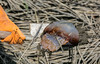 Begin Jellyfish Rescue (Gabriel FW Koch) Tags: ocean sea wild rescue orange sun sunlight fish water animal canon outside eos jellyfish dof mud bokeh outdoor wildlife tide sealife telephoto gloves jelly marsh wilderness shovel creature shunshine quicksand pluffmud