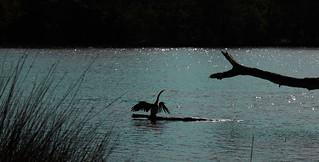 Heron bird at the lake
