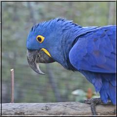 2016.02.19.051 PARIS - Zoo - L'ara Hyacinthe (alainmichot93 (Bonjour à tous - Hello everyone)) Tags: paris france seine zoo îledefrance bleu oiseau ara 2016 zoodevincennes arahyacinthe parczoologiquedeparis