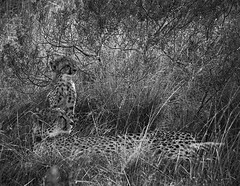 Cheetah with cub (DickieK) Tags: africa family wild blackandwhite nature grass animal fur southafrica mammal cub looking wildlife cheetah resting predator grassland shamwari acinonyxjubatus