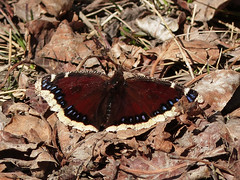 Mourning Cloak / Nymphalis antiopa (annkelliott) Tags: park canada calgary nature butterfly insect outdoor deadleaves alberta ontheground earlyspring mourningcloak wingsspread nymphalisantiopa dorsalview pearceestate annkelliott anneelliott fz200 fz2003 27march2016