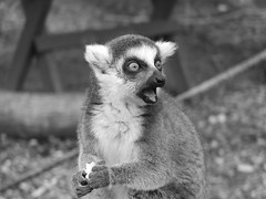 Lemur (boomerado) Tags: lemur shocked