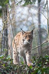 Walking (Cloudtail the Snow Leopard) Tags: animal cat mammal feline katze tierpark lynx tier luchs sugetier goldau