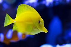 Yellow Tang (lurpelis) Tags: ocean fish nature animal yellow canon aquarium aquatic tang 100mm28 70d 100mm28l canon70d