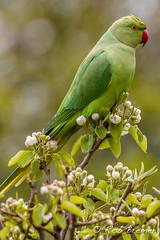 Halsbandparkiet / Rose-ringed Parakeet_4144 (rob.bremer) Tags: bird nature garden outdoor wildlife natuur aves tuin castricum vogel halsbandparkiet psittaculakrameri roseringendparakeet