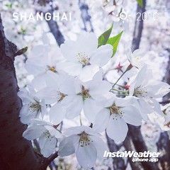 #instaweather #earth #world #place #china #shanghai #上海 #day #garden #flower #leaf #leaves #green #plants #outdoor #photographing #photographer #shot #petals #breathe #fresh #street #shooting #cherry #cherryblossom #blossom #spring #outdoors #iphoneograph (CalvinShoot) Tags: world life china park street city flowers trees plants sun plant flower tree green love nature leaves sunshine garden square cherry fun outdoors happy leaf petals spring day branch quiet afternoon silent place shanghai shot blossom outdoor earth branches breath style fresh petal silence squareformat newborn record cherryblossom flowering shooting breathe breathing iphone instaweather iphoneography instagramapp uploaded:by=instagram instaweatherpro instaweatherapp