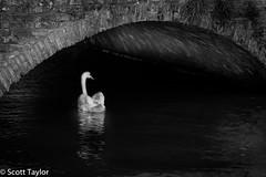 Swan Under Bridge (Scrufftie) Tags: travel bw monochrome canon mono blackwhite swan europe belgium brugge style handheld bruges lightroom canonef24105mmf4lisusm photoshopcc canon5dsr