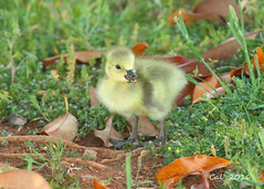 Canada Goose Gosling At 1 Day  4-27-16 (Cal-Photo) Tags: nature birds geese tennessee wildlife goslings canadageese middletennessee