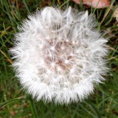 AmazingThings92.Tumblr.com (f.memes93) Tags: nature that freedom words perception quote perspective some free off dandelion thoughts quotes maybe dreams reality wisdom left better ~ lois beginnings makeawish naturequote inspirationquote instaquote perspectivequote