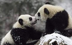 #Animals, The calm of #panda (PhotographyPLUS) Tags: pictures graphics photos illustrations images stockphotos articles footage stockimage freephoto stockphotograph