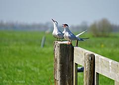 I don't listen anymore ( Annieta ) Tags: holland bird netherlands fence spring sony nederland april polder lente oiseau allrightsreserved vogel weiland hek birdwatcher zuidholland 2016 krimpenerwaard visdiefje annieta a6000 usingthispicturewithoutpermissionisillegal