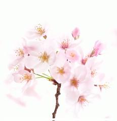 bouquet of cherry blossoms (yukkbie) Tags: spring nikon  cherryblossom sakura  d3100