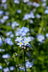 kk varzs / blue magic (debreczeniemoke) Tags: blue flower garden spring forgetmenot tavasz virg kert boraginaceae kk myosotisarvensis ackervergissmeinnicht fieldforgetmenot numuita kknefelejcs myosotisdeschamps miozotis ochiipsruicii olympusem5 borgflk nontiscordardimminore