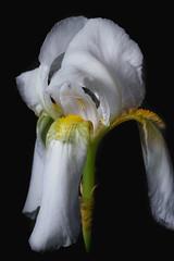 White Iris. (Joeweav) Tags: iris flower onelight sigma105mm nikond750