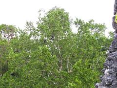 """Tikal: vue sur les singes araignées depuis le Sloping Panel Temple <a style=""""margin-left:10px; font-size:0.8em;"""" href=""""http://www.flickr.com/photos/127723101@N04/26171864241/"""" target=""""_blank"""">@flickr</a>"""