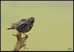 Common starling (Arshad Aashraf) Tags: pakistan nature birds ilovenature wildlife birdseyeview naturephotography naturelover sialkot birdsofpakistan wildlifephotographey birdslover headmarala ilovewildlife