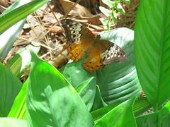 Vindula arsinoe 2 (barryaceae) Tags: house butterfly harbour australia nsw coffs the ausbutterfly