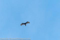 _DSC4810.jpg (orig_lowolf) Tags: usa dog nature oregon nikon flickr lakeoswego turkeyvulture d300s sigma150500mmf563afapodgoshsmtelephotozoom