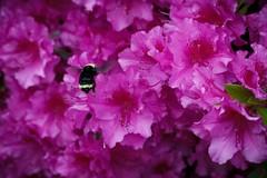 Fat, fuzzy pollinator (kellimatthews) Tags: pink macro spring outdoor bumblebee azalea pollinator
