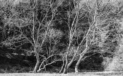 eyewitnesses II (Fay2603) Tags: old white black monochrome outdoor alt pflanze ste wald baum rinde zweige schief einfarbig filigran seitenlage