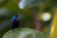 Pemba Sunbird 2015-08-26 7D2_3333.jpg (DavidAWelch) Tags: tanzania nectariniidae pembasunbird cinnyrispembae bird20iocreplaceoldbirdlist