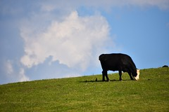 Kentucky cows are happier cows (sniggie) Tags: spring cattle cows bluegrass farm bluesky bucolic puffyclouds barnanimal centralkentucky