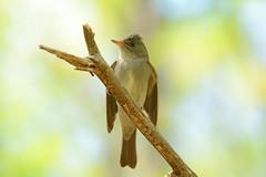 Eastern Wood-Pewee (av8s) Tags: nature birds photography nikon pennsylvania wildlife sigma pa hazleton flycatcher songbirds easternwoodpewee woodpewee pewee perchingbirds d7100 120400mm