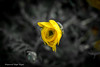 Subtle (mr.waqar17) Tags: pakistan bw floral beautiful yellow spring amazing poetry lahore iqbal allama