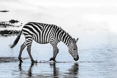 Lake Ndutu (Duncan Blackburn) Tags: bw nature tanzania mammal nikon wildlife zebra serengeti 2016 ndutu