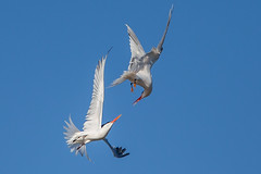 Courting in the Air (OC Birds) Tags: california bird nature animal wildlife elegant tern huntingtonbeach bolsachica