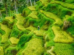 Rice terraces on Bali, Indonesia (UweBKK ( 77 on )) Tags: bali green indonesia asia rice fx9 paddy farm terraces panasonic crop southeast agriculture dmc dmcfx9