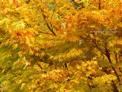JAPANESE MAPLE (David~Preston) Tags: uk autumn england tree leaves golden cheshire seasonal foliage japanesemaple acer nessbotanicgardens thewirral