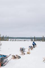 IMG_9086 (Adventurin') Tags: dog sweden stockholm aurora lapland sledding kiruna nothernlights