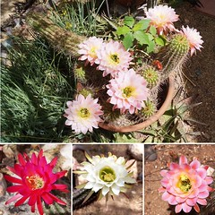 So many beautiful blooms today! (DeGrazia Gallery in the Sun) Tags: flowers arizona cactus ted flores flower cacti artist desert tucson blossoms az courtyard blooms degrazia catalinas ettore nationalhistoricdistrict galleryinthesun