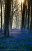 Micheldever Bluebells Sunrise (Kevin Browne Photography) Tags: blue sun bluebells sunrise wonderful carpet spring woods display peaceful hampshire april annual m3 winchester purble micheldever