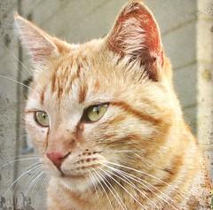 Montelle (CatnessGrace) Tags: cats portraits fur ginger chats eyes furry chat gatos whiskers gato felines katze cateyes gatto katzen gatti gingercats petportraits catportraits animalportraits catfaces felineportraits