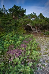 (MFB_2010) Tags: trees beach seaside woods heather pebbles boulders heath naturelovers canonefs1022mmf3545usm shinglebeach saveearth canoneos40d raetprotectedlandscape