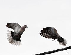 DSC_6043 (Miha Crnic Photography) Tags: slovenija istra streptopeliadecaocto ptice kolomban turkagrlica