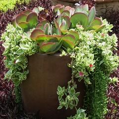 Wheaton, IL, Cantigny Park, Planter Foliage (Mary Warren (6.7+ Million Views)) Tags: plants green nature leaves flora foliage planter succulents cantignypark wheatonil