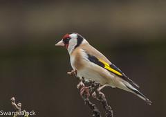 Goldfinch (swanseajack2013) Tags: uk bird garden nikon dof singing goldfinch finch finches perch f28 80200mm 80200mmf28 d810