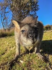 Roo CU (caralan393) Tags: cu kangaroo roo