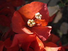 Another Bougainvillea the Afternoon (Robb Wilson) Tags: blossoms bougainvillea springtime orangeblossoms orangeflowers springlight orangebougainvillea