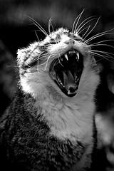 Catching flies (Z) Tags: bw white black cat feline funny chat noir tabby yawn kitty sleepy gato katze gatto blanc tigre kot yawning noirblanc spats