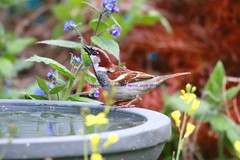 Drinking Deep... (law_keven) Tags: england bird london birds birdtable sparrows housesparrow avian catford gardenbirds