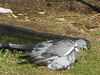 Drying off: see below (claire artistandpoet Stroke Survivor) Tags: eye pigeon feathers off beady drying