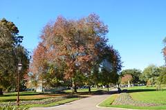 Pin Oak tree planted by the Country Womens Association in 1947 at the Ballarat Botanical Gardens (avlxyz) Tags: oak julia isaac australia victoria liam botanicalgardens redoak ballarat fb2 quercuspalustris ballaratbotanicalgardens swampspanishoak pinkoak