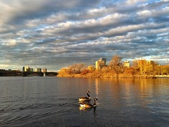 Golden Hour on the Esplanade ((Jessica)) Tags: bird water birds boston golden geese wildlife massachusetts charlesriver newengland goose goldenhour pw iphone iphone6s