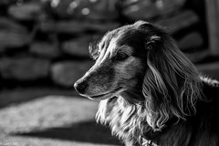 An old gentleman (lars1387) Tags: dog norway fujifilm akershus asker xt1